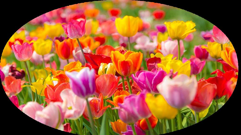 Tulipány na webu o štěstí